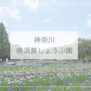 【神奈川観光】14万株ものハナショウブが咲き誇る『横須賀しょうぶ園』