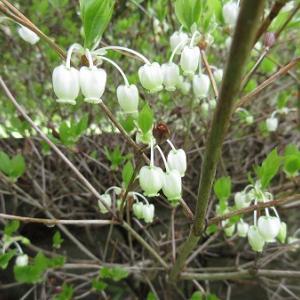 ドウダンツツジ、咲く。