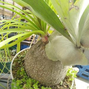 ビカクシダ(コウモリラン)の肥料と苔スポット