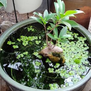 睡蓮鉢のガジュマルの植え替え