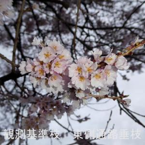 わに塚の桜 開花情報 3/30 出店致します。