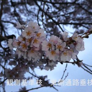わに塚の桜 開花情報 3/31 出店は御座いません