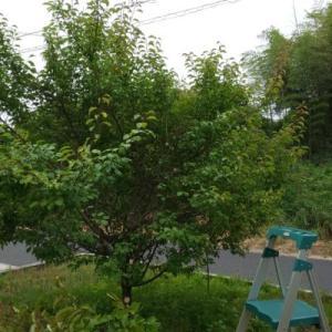 「桜切る馬鹿、梅切らぬ馬鹿」梅の木の剪定と、庭の手入れ