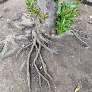 木の根っこの素晴らしさ♪擬人化、面白い!いつものお散歩をアップグレード!