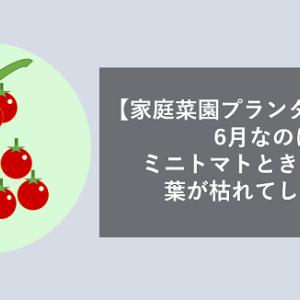 【家庭菜園プランター失敗例】6月なのにミニトマトときゅうりの葉が枯れてしまった理由