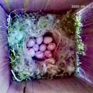 シジュウカラの育児観察記録 その5  いよいよ抱卵期に突入