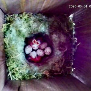 シジュウカラの育児観察記録 その6  ヒナが孵った!