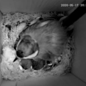 シジュウカラの育児観察記録 その9  近づく巣立ち