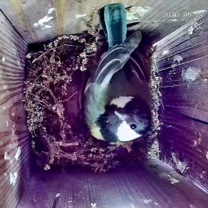 帰って来たシーちゃん シジュウカラ、2度目の営巣 その1