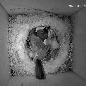 帰って来たシーちゃん シジュウカラ、2度目の営巣 その2