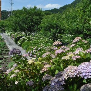 紫陽花「根尾川ガーデン」