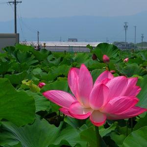 ハスの花 (立田赤はす保存田)
