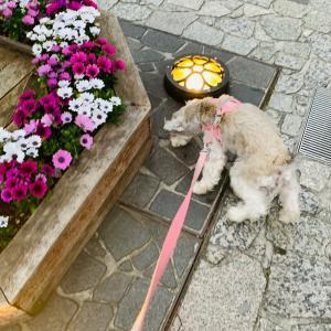春の恵比寿ガーデンプレイス|犬さんぽ
