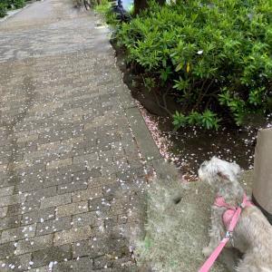 桜を見ながら犬と散歩ができる絶景ポイント