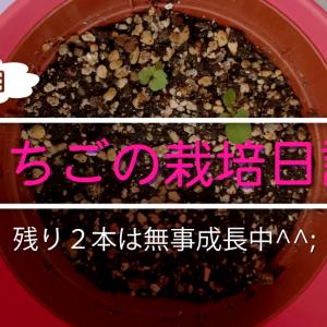 イチゴを栽培し始めて早くも5週目!なんとか2本は無事に育ってます!