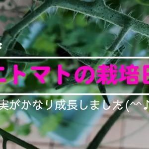 実が大きくなってきた(^^♪13週目を迎えたミニトマトの栽培状況です。。