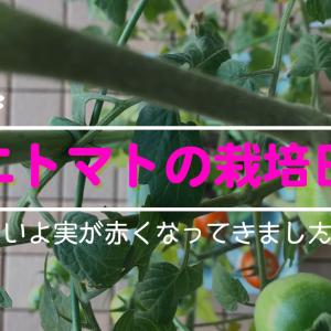 いよいよ実が赤くなってきた⁉15週目を迎えたミニトマトの栽培状況です。。