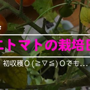 ミニトマトを107日目に初収穫!!でも…