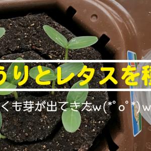 きゅうりとレタスを「私の畑」で育て始める!早くも発芽⁉