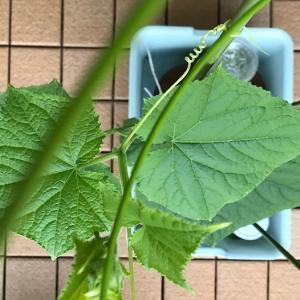 きゅうりの栽培日記【種まきから早くも1ヶ月】