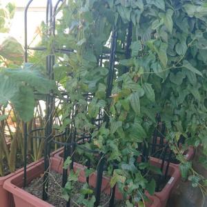 [山芋] 山芋の栽培日記 (2020年8月11日)