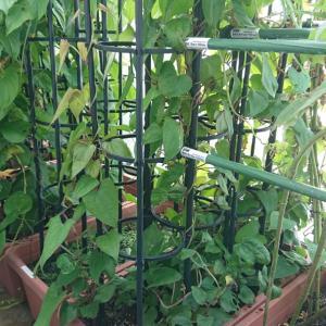 [ヤムイモ] ヤムイモの栽培日記 (2020年8月12日)