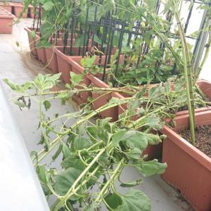 [菊芋] 菊芋の栽培日記 (2020年8月13日)