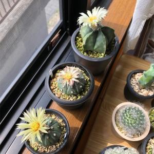 サボテンが3つ同時開花しました🌼