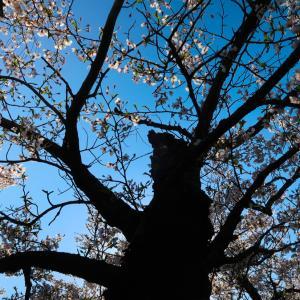 snap vol.3 / Canon G7X MarkⅡで桜をスナップ 新潟県五泉市粟島公園 / gosen niigata japan