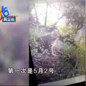 中国浙江省杭州市のサファリーパークから3匹の豹が脱走。住民に不安広がる。