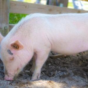 【事件】豚670頭…群馬県などで相次いだ家畜盗難事件 ベトナム人ら19人が関与か