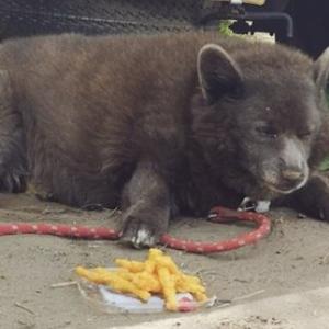 【画像】甲斐犬とコーギーのミックスが…ほぼ熊