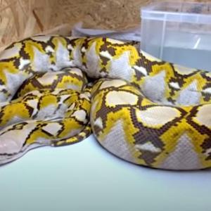 【横浜】アパートから逃げ出した体長約3.5mの「アミメニシキヘビ」未だ見つからず 戸塚