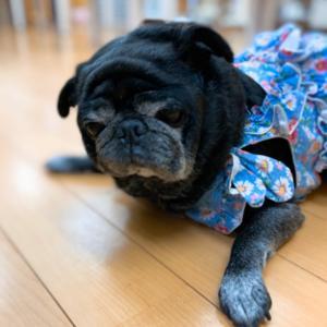 看板犬プー子と共に成長してきました。