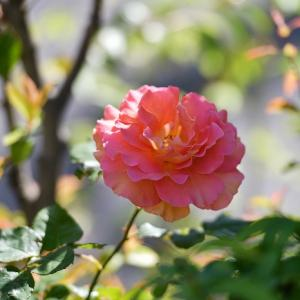 散歩道の薔薇