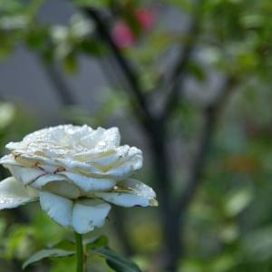 又々 散歩道の薔薇