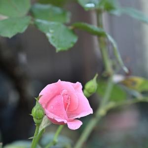 まだ 散歩道の薔薇
