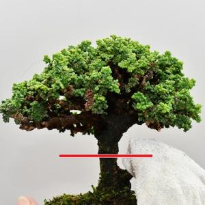 石化檜 取り木構想