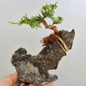 真柏 取り木を外す その2