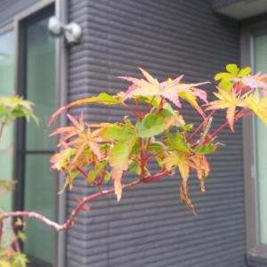 我が家の紅葉、始まりました。