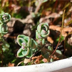 放置されたミセバヤの鉢にも春が来ました