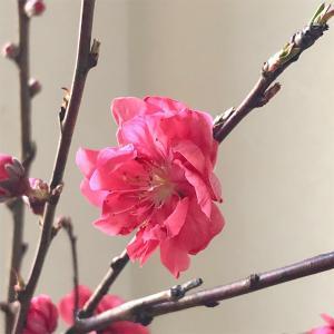 花桃の季節