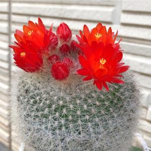 雪晃(セッコウ)の花が咲きました*\(^o^)/*
