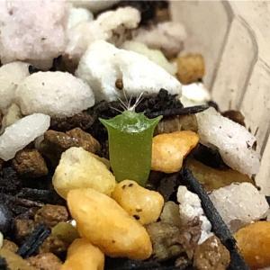 赤ちゃんサボテンにトゲが生えてきました〜芽が出てから約1ヶ月後〜
