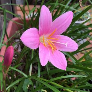 レインリリー(ゼフィランサス)の花が次々と咲いています。