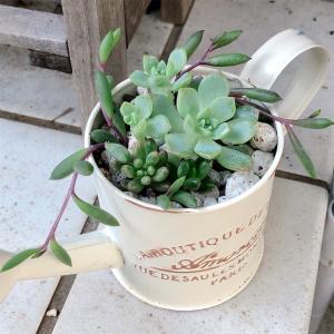 小さめの寄せ植えを作りました。〜プロリフィカ、虹の玉、オーロラ、ルビーネックレス〜
