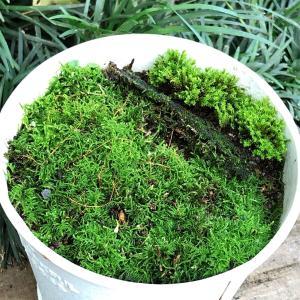 苔の鉢の話。