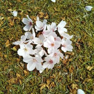 散っても桜