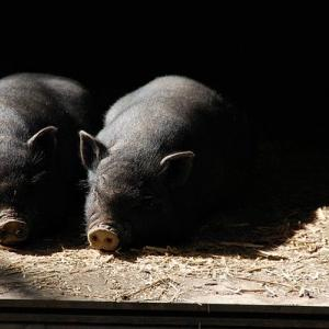 養豚家は儲かるって本当?仕事内容、平均年収、初期費用など簡単にまとめます。