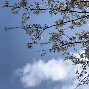 寂しくて悲しい桜の木のこと